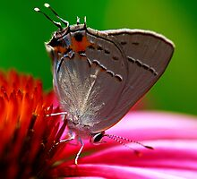 Hairstreak Butterfly by Brenda Burnett