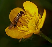 A buzz in a buttercup by bared