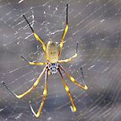 Golden Orb Spider by lib225