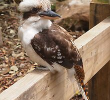 A Very Handsome Kookaburra  by PollyBrown