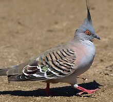 Crested Pigeon - Canberra - Australia by shortshooter-Al