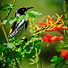 New Holland Honey Eater by Stephen Ruane