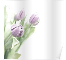 Pale lilac-coloured tulips Poster