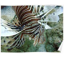 Lionfish, Lighthouse Bay, Exmouth Poster