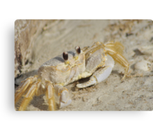 Ghost Crab, As Is Canvas Print