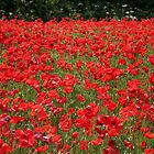A field full of red poppies by hjaynefoster