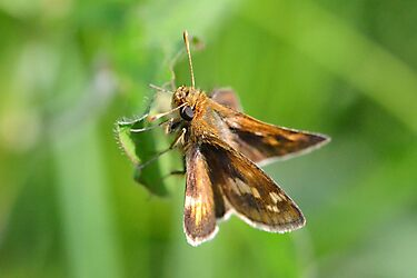 Peck's Skipper Hanging Around by William Brennan