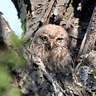 Little Owl chick  by larry flewers