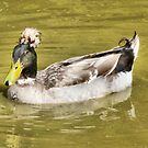The Crested Duck.  by Lilian Marshall