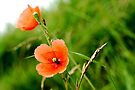 poppies ... by Gregoria  Gregoriou Crowe