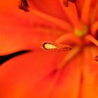 Lily (2) by Kelvin Hughes