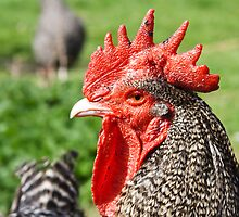 Scots Grey Rooster by lmaiphotography