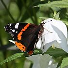 Red Admiral On A Canterbury Bell by freezaframe