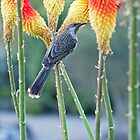 Wattle Bird in Red Hot Pokers by jayneeldred