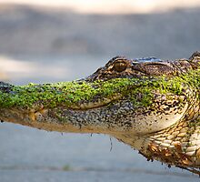 Gator up Close and Personal by imagetj