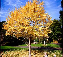 Autumn colour - Ginkgo by Adriano Carrideo