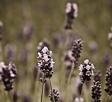 Tender lavender by Ulla Jensen