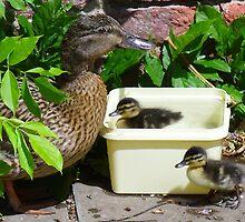 Ducklings bathing in an ice-cream tub! by Sue Payne