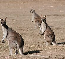 Kangaroos of Cania George by sueyo