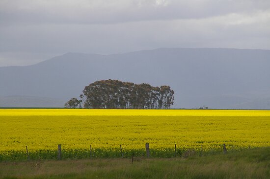 Canola -Grampians Region by ROSEMARY EAGLE