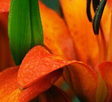 Orange lily with green bud by Antanas
