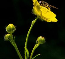 Bugs and Buttercups by Susie Peek