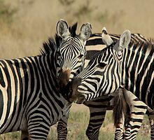 Out of Africa - Stripey Affection by Sally Haldane