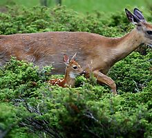 Mother and child reunion - White-tailed Deer by Jim Cumming