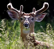 He wore Velvet - White-tailed Deer by Jim Cumming