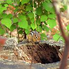 The chipmunk is hiding by Chuck Chisler