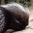 African Crested Porcupine  by Magic-Moments