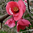 Flowering Quince by DEB CAMERON