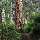 Karri Tree Walk - Pemberton WA by Bev Woodman