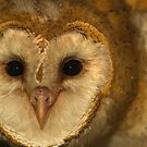 Barn Owl Closeup by Chris Morrison