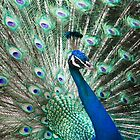 Peacock by ClickOfOdds