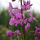 Fireweed by Mieke Vleeracker