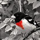 (Rosebreasted) Grosbeak by Sheryl Gerhard
