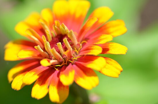 Yellow Flame Zinnia by Paula Betz