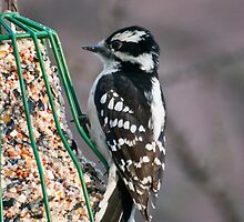 Downy Woodpecker Female by ArianaMurphy