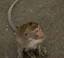 Long Tailed Macaque by Todd Krebs