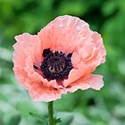 Pale pink poppy by ImageItFoto