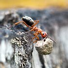 How Much Weight Can an Ant Carry? by David Friederich