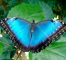 Blue Morpho by Paula Betz
