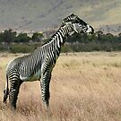 Zebraffe by ☼Laughing Bones☾