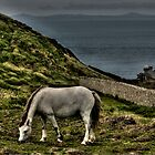 Gray horse at Marloes by Ian Parry