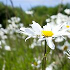 Ox-eye Daisy (Leucanthemum vulgare) by lmaiphotography