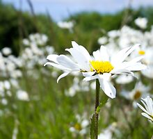 Ox-eye Daisy (Leucanthemum vulgare) by Lisa Marie Robinson
