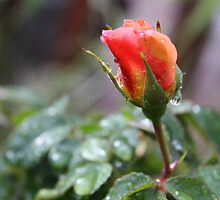RAIN DROP'S ON PEACH ROSE  by Marie Brown ©