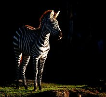 Zebra by Mark Williams