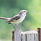 mockingbird on fence post by SusieG
